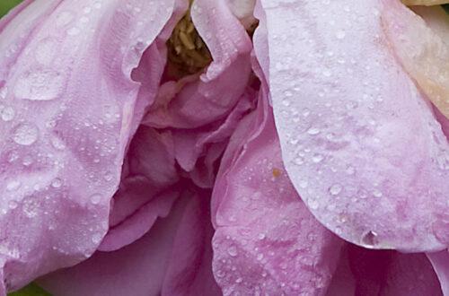 Trädgård, rosor och önskningar