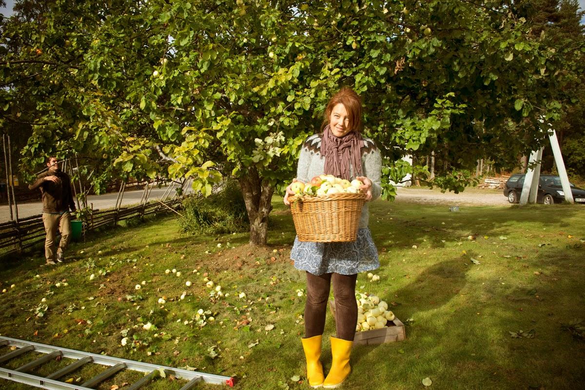 Plocka äpplen